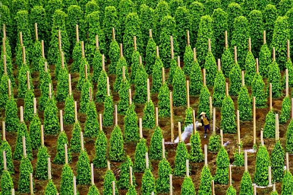 Diện tích trồng trọt và năng suất của cây hồ tiêu tại Phú Quốc ngày một tăng cao