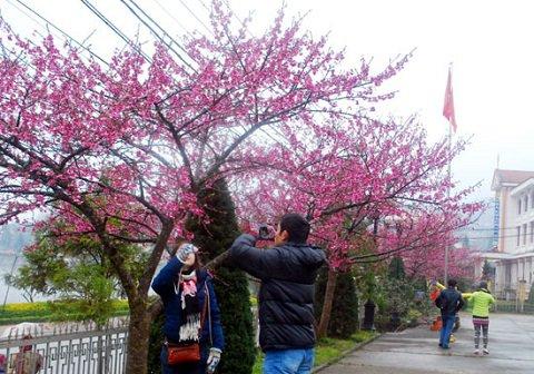 Du khách chụp ảnh lưu niệm bên những cây hoa anh đào