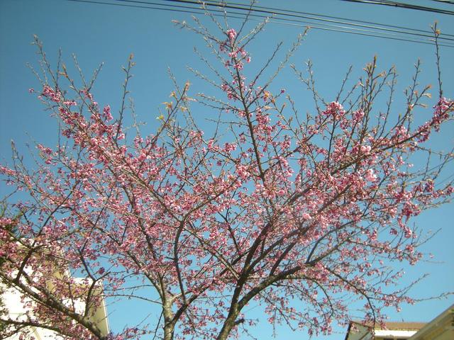 Hoa anh đào ở Sapa