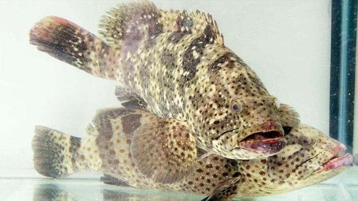 Cá Mú cọp Phú Quốc