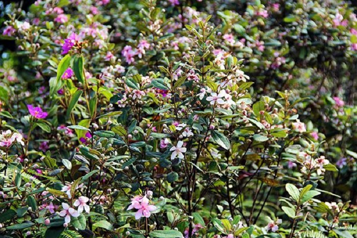 Một góc nhỏ hoa sim trên đất rừng Phú Quốc