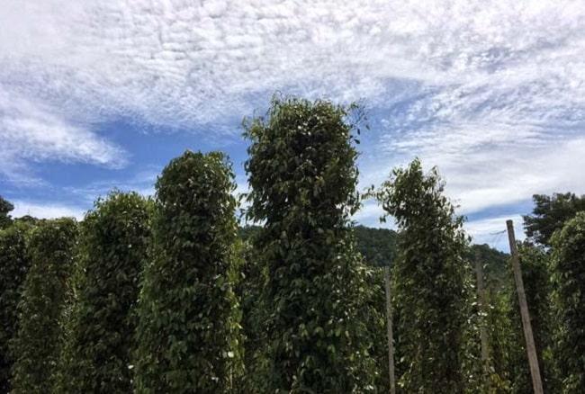 Cách trồng và thu hoạch tiêu Phú Quốc