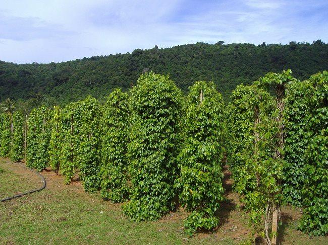 Vườn tiêu xanh mát Phú Quốc
